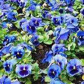 foto of viola  - viola tricolor pansy - JPG