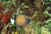 image of angelfish  - Ringed Angelfish - JPG