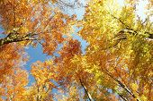 foto of alder-tree  - Autumn beech trees on a cloudless morning - JPG