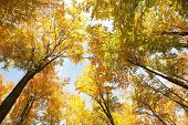 image of alder-tree  - Autumn beech trees on a cloudless morning - JPG