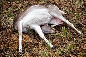stock photo of killing  - Fallow deer female killed in hunt on the ground - JPG