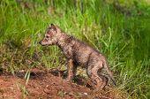 foto of coyote  - Soaking Wet Coyote Pup  - JPG