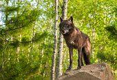 foto of lupus  - Black Wolf  - JPG