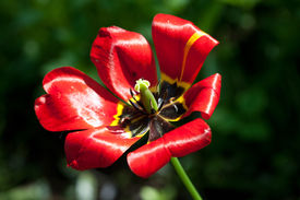 picture of defloration  - Deflorate red tulip  - JPG