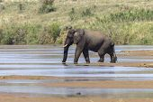 Постер, плакат: Elephant Bull River Wildlife