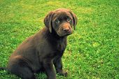 picture of puppy dog face  - adorable chocolate lab puppy with an irresistible face - JPG