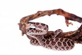 stock photo of jungle snake  - Many Spotted Cat Snake Boiga multomaculata on white background - JPG