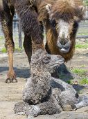 stock photo of hump  - Newborn Bactrian or two-humped camel (Camelus bactrianus) calf