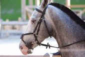 picture of reining  - young beautiful grey horse utdoor with reins