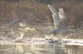 pic of water bird  - Swans swimming on the river - JPG