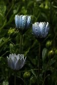 picture of raindrops  - Fabulously Beautiful blue flowers with raindrops in nature - JPG