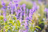 picture of salvia  - Blue Salvia or salvia farinacea flowers blooming in the garden - JPG