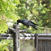stock photo of pecker  - black color corvidae bird in the zoo