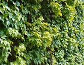 stock photo of tendril  - Green wall of parthenocissus tendril climbing decorative plant - JPG
