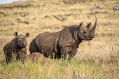 image of rhino  - Black White Mother and Baby Rhino on lookout - JPG