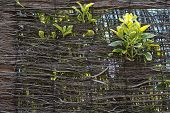 stock photo of bine  - Green leaves growing through the wicker wall composition background - JPG