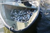 picture of freshwater fish  - boat with catch of freshwater  fish coregonus - JPG