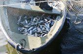 stock photo of freshwater fish  - boat with catch of freshwater  fish coregonus - JPG