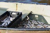 picture of freshwater fish  - fishery - JPG