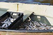 stock photo of freshwater fish  - fishery - JPG