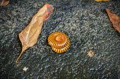 picture of millipede  - Millipede in the backyard after raining on the ground - JPG