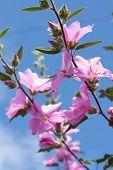 image of hollyhock  - Beautiful Pink Hollyhock Flowers In The Garden - JPG