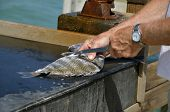 picture of fish skin  - A sheepshead fish is being filleted on a cleaning bench - JPG