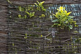 pic of bine  - Green leaves growing through the wicker wall composition background - JPG