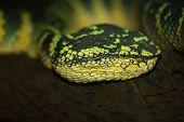 pic of jungle snake  - Oriental whip snake - JPG