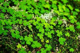 image of irish moss  - Close - JPG