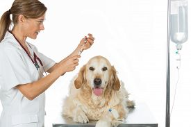 picture of catheter  - Veterinary placing a catheter via a Golden Retriever in the clinic - JPG