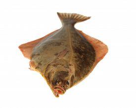 foto of flounder  - big fish flounder on a white background - JPG