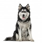 Siberian Husky sitting and looking at the camera, 3 years old, isolated on white poster