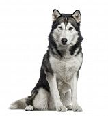 Siberian Husky sitting, 4 years old , isolated on white poster