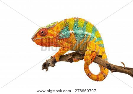 Yellow Blue Lizard Panther Chameleon