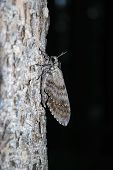 pic of night crawler  - close up of a large moth on a tree - JPG
