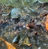 Feed Fish / Many Fish Feed Food A Lot Of Feeding Catfish , Tilapia, Carp And Orange Common Carp - Fr poster