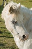 Welsh Mountain Pony An Ancient Breed Native To Wales Once Used As Pit Ponies And As Draught Animals poster
