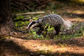 Badger In Forest, Animal In Nature Habitat, Germany, Europe. Wild Badger, Meles Meles, Animal In The poster