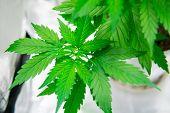 Marijuana Flower Indoor Growing. Home Grow Legal Recreational Weed. Planting Cannabis. Marijuana Gro poster