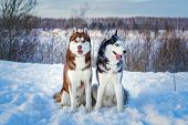 Two Siberian Husky Dogs Looks Around. Husky Dogs Has Black, Brown And White Coat Color. Snowy White  poster