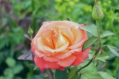 Beautiful Pink Rose Over Green Leaves Background. Beautiful Botanical Beauty Background.a Photo Of A poster