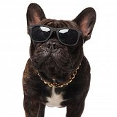 close up of french bulldog wearing eyeglasses and golden necklace standing on white background poster