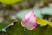 Pink flower of Indian lotus, also called sacred lotus, bean of India (Nelumbo nucifera)
