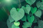 Heart Shaped Green Crinkly Leaf Of Coral Vine Or Chain Of Love (antigonon Leptopus), Tropical Rainfo poster