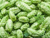 Green hop cones -  ingredient in the beer production.  poster
