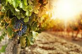stock photo of grape  - Vineyards at sunset in autumn harvest. Ripe grapes in fall.Cluster grapes on left