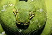 pic of green tree python  - Close up photo of an Emeral Tree Boa taken with macro lens could also be a Green Tree Python - JPG