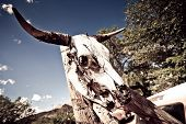 pic of cow skeleton  - Cow skull with horns found at Arizona - JPG