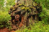 pic of sequoia-trees  - Gnarled base of a Sequoia Tree in Big Basin Redwoods State Park - JPG